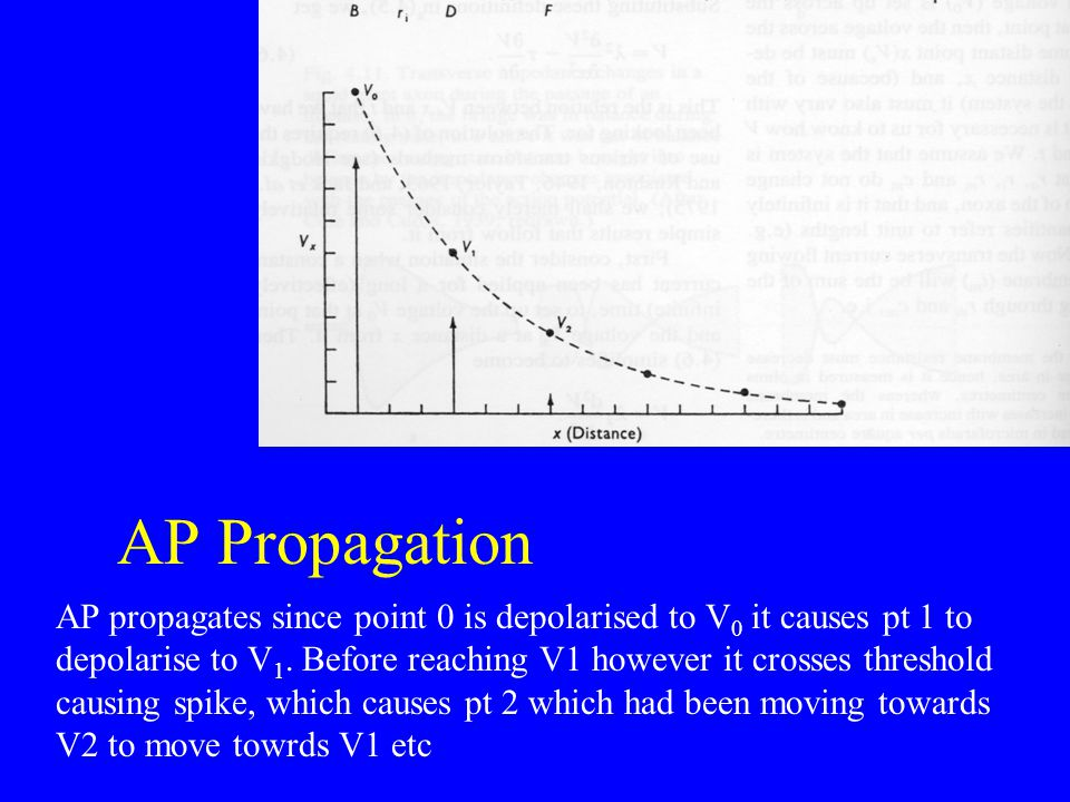 AP Propagation AP propagates since point 0 is depolarised to V 0 it causes pt 1 to depolarise to V 1. Before reaching V1 however it crosses threshold