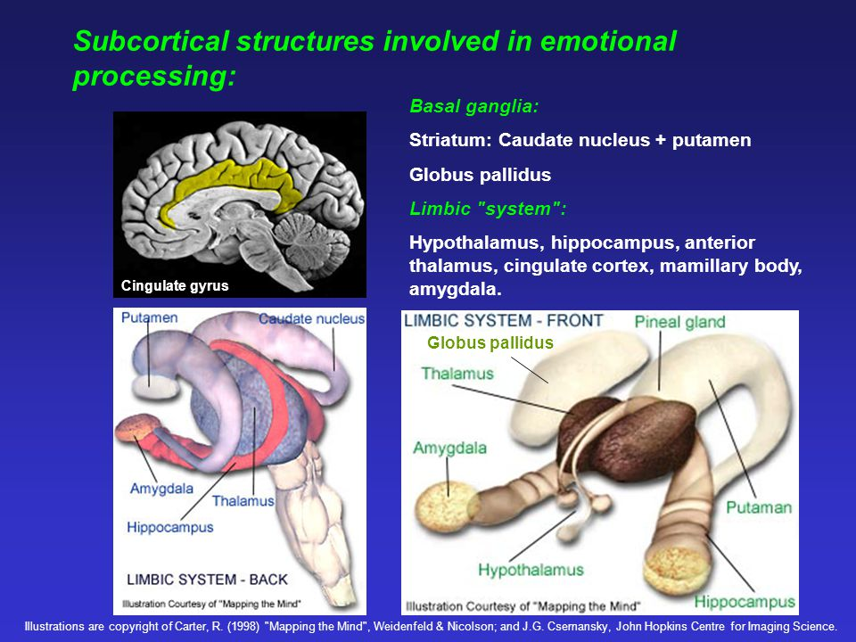 Subcortical structures: Amygdala - involved in learning emotional significance of information, and in providing an instinctive, emotional response.