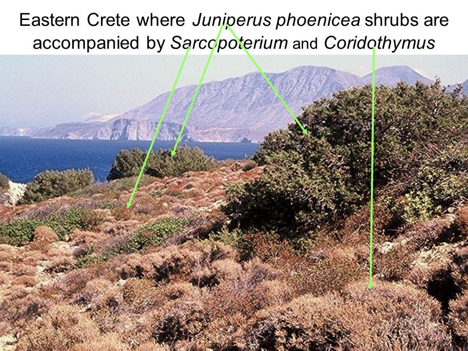 Avinoam Danin © Eastern Crete where Juniperus phoenicea shrubs are accompanied by Sarcopoterium and Coridothymus