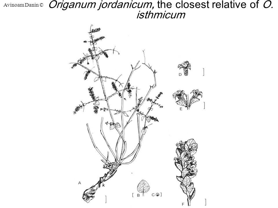 Avinoam Danin © Origanum jordanicum, the closest relative of O. isthmicum