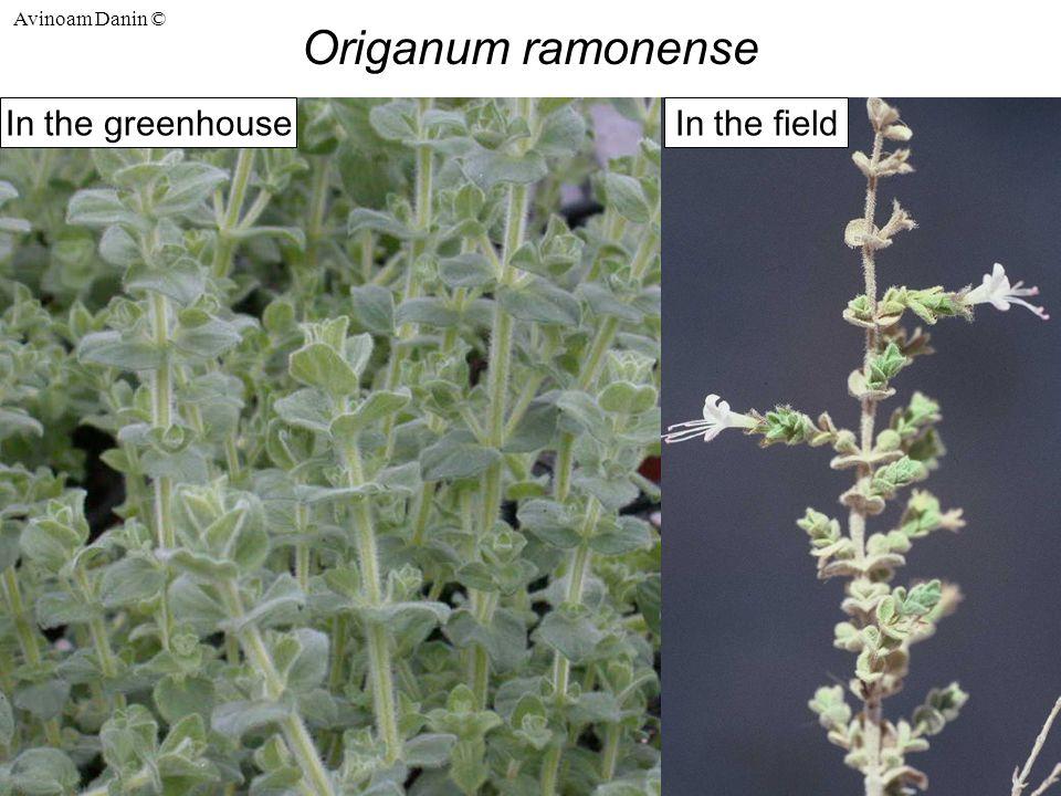 Avinoam Danin © Origanum ramonense In the fieldIn the greenhouse