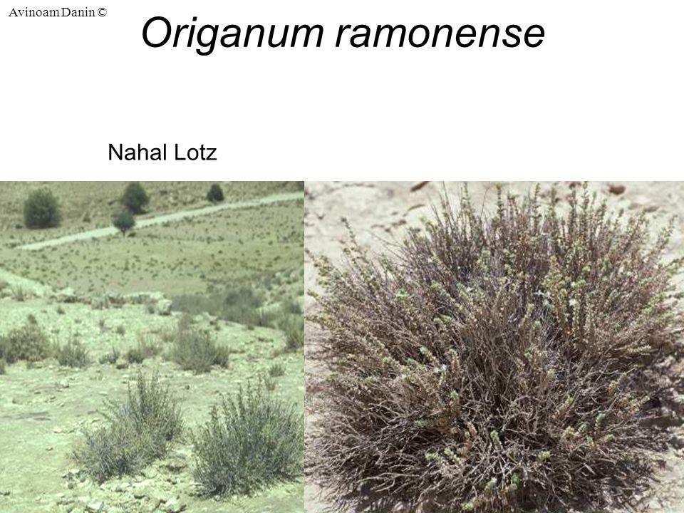 Avinoam Danin © Origanum ramonense Nahal Lotz