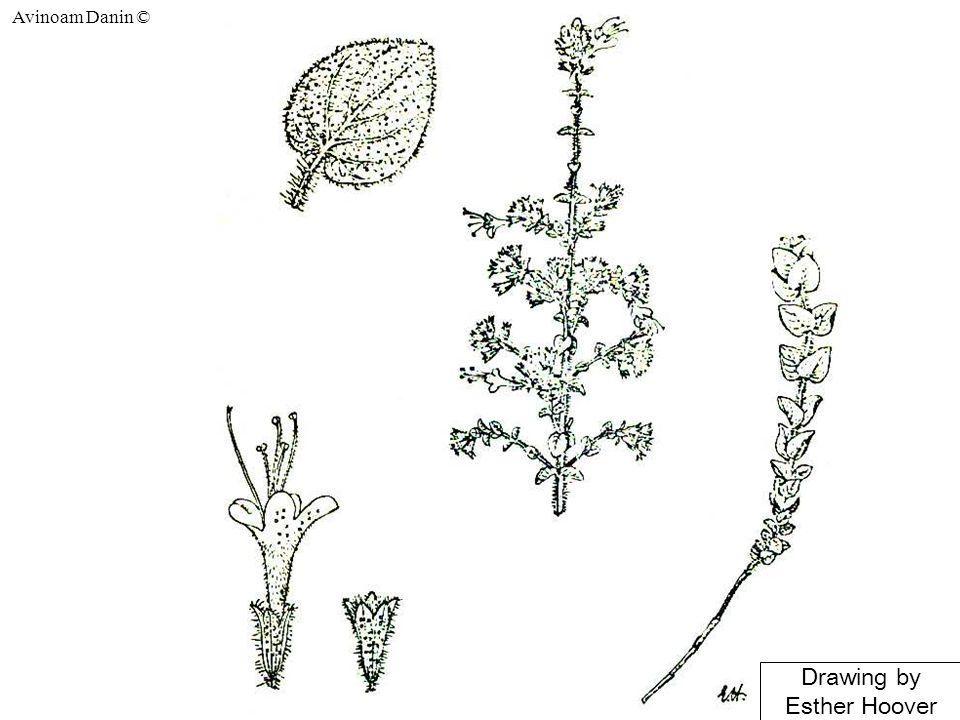 Avinoam Danin © New root-borne shoots of H. negevensis