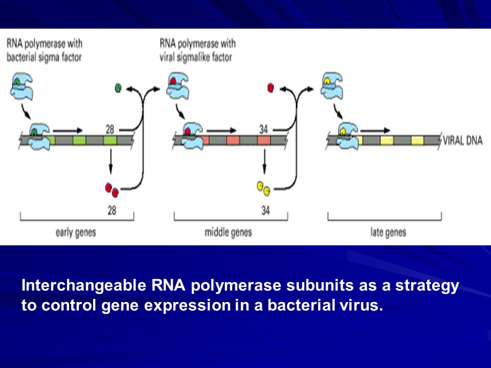 Interchangeable RNA polymerase subunits as a strategy to control gene expression in a bacterial virus.