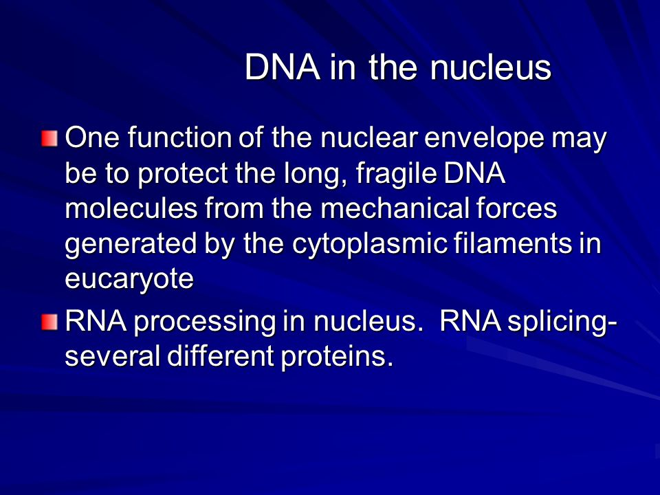 DNA in the nucleus One function of the nuclear envelope may be to protect the long, fragile DNA molecules from the mechanical forces generated by the