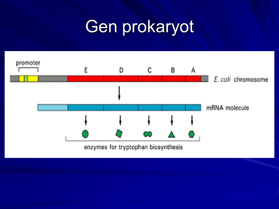 (B) In procaryotes the production of mRNA molecules is much simpler.