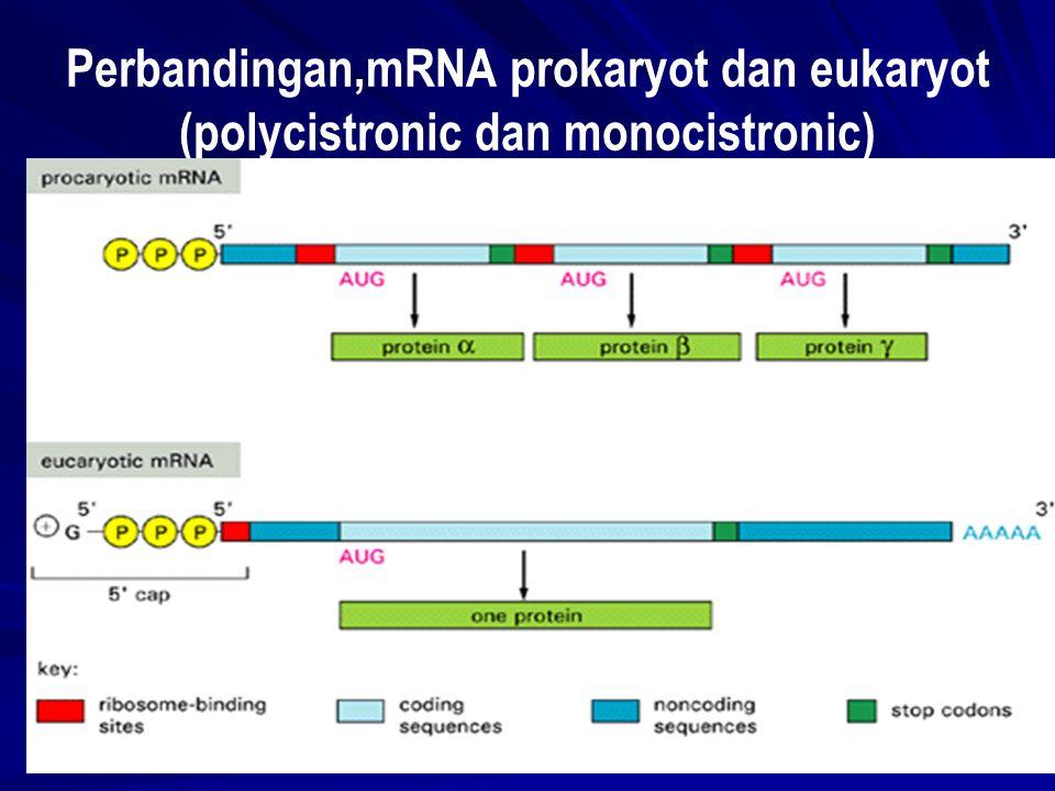 Perbandingan,mRNA prokaryot dan eukaryot (polycistronic dan monocistronic)