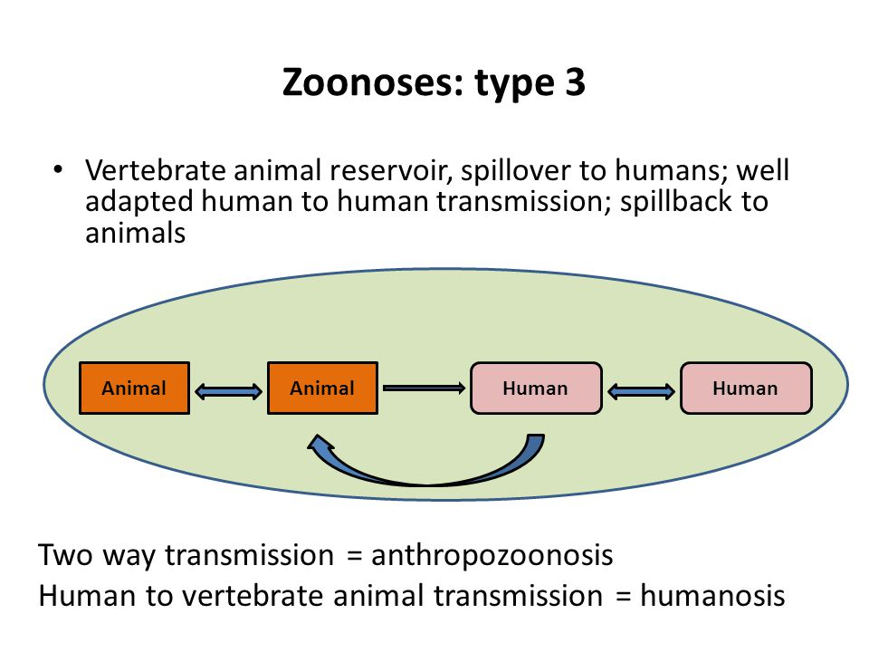 Zoonoses: type 3 Vertebrate animal reservoir, spillover to humans; well adapted human to human transmission; spillback to animals AnimalHumanAnimalHuman Two way transmission = anthropozoonosis Human to vertebrate animal transmission = humanosis