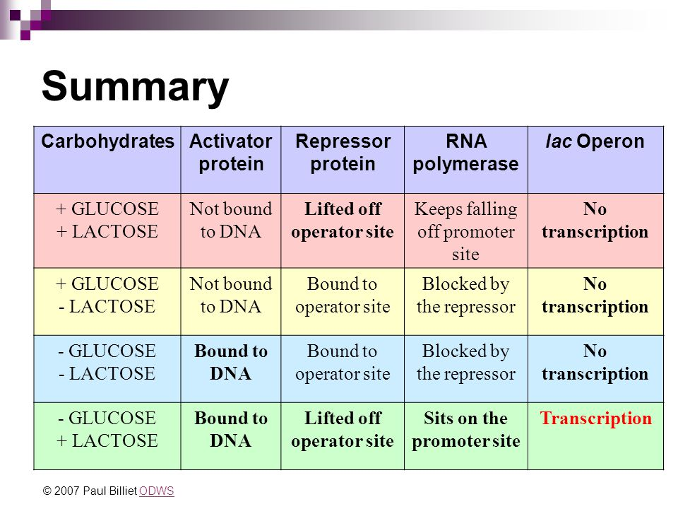 Summary CarbohydratesActivator protein Repressor protein RNA polymerase lac Operon + GLUCOSE + LACTOSE Not bound to DNA Lifted off operator site Keeps