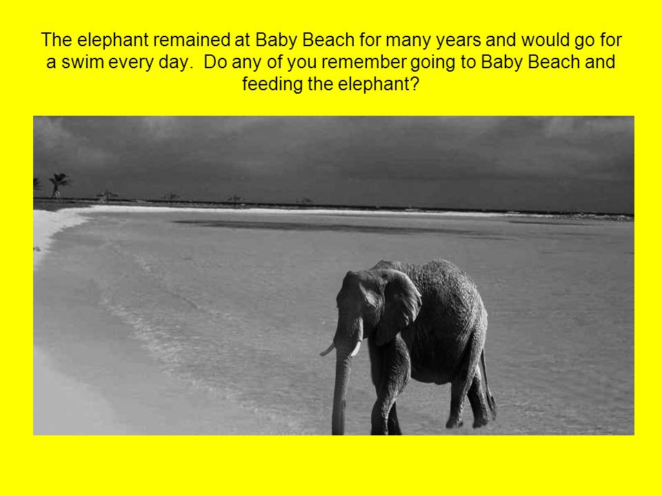 The elephant remained at Baby Beach for many years and would go for a swim every day. Do any of you remember going to Baby Beach and feeding the eleph