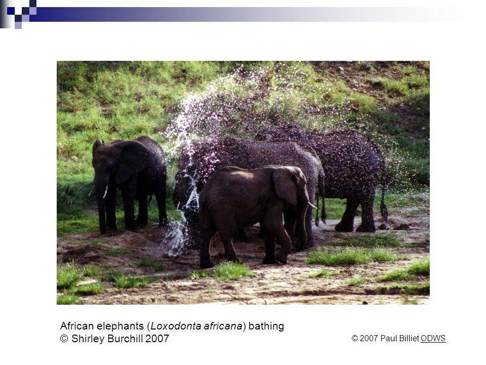 African elephants (Loxodonta africana) bathing © Shirley Burchill 2007 © 2007 Paul Billiet ODWSODWS