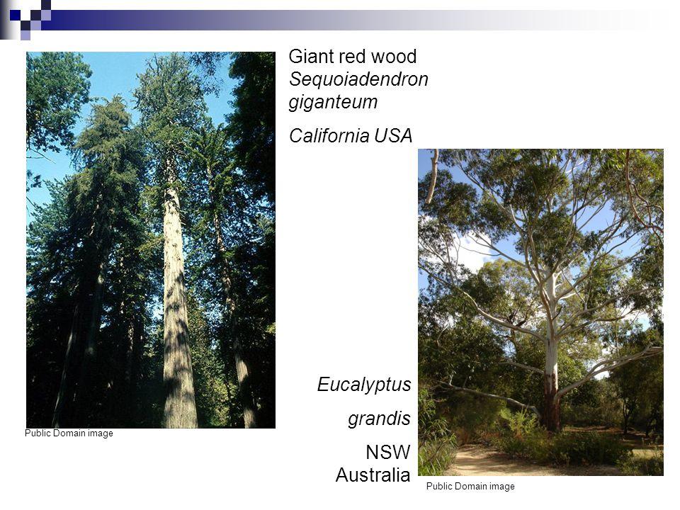 Giant red wood Sequoiadendron giganteum California USA Public Domain image Eucalyptus grandis NSW Australia Public Domain image