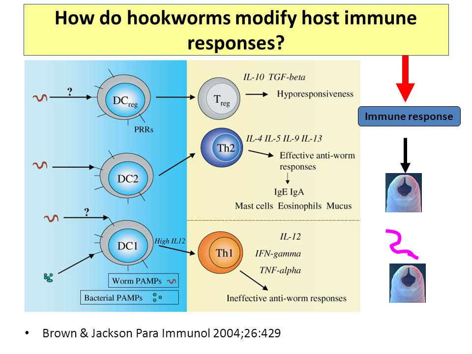 How do hookworms modify host immune responses.