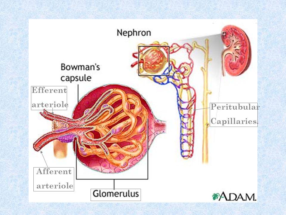 Afferent arteriole Efferent arteriole Peritubular Capillaries.
