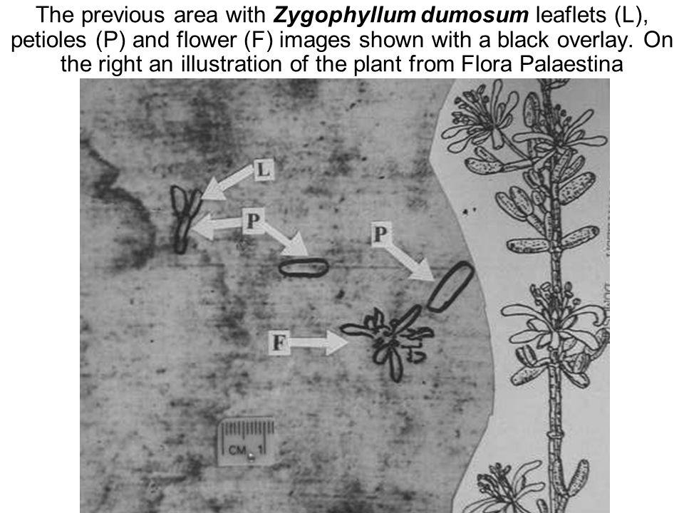 Avinoam Danin © The previous area with Zygophyllum dumosum leaflets (L), petioles (P) and flower (F) images shown with a black overlay.