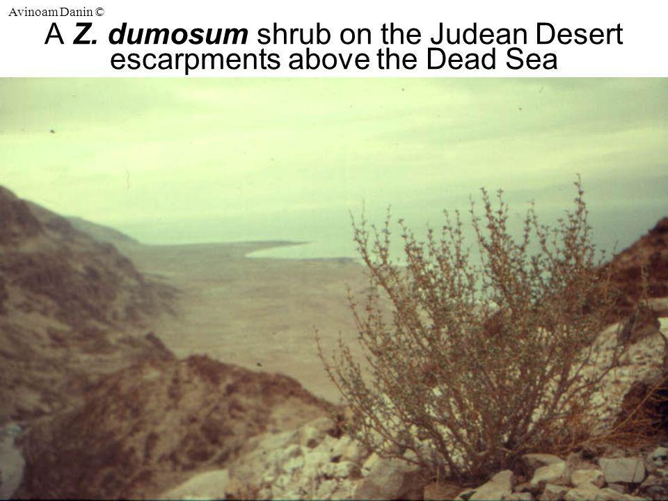 Avinoam Danin © A Z. dumosum shrub on the Judean Desert escarpments above the Dead Sea