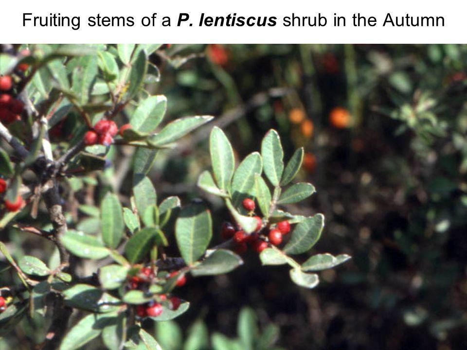 Avinoam Danin © Fruiting stems of a P. lentiscus shrub in the Autumn