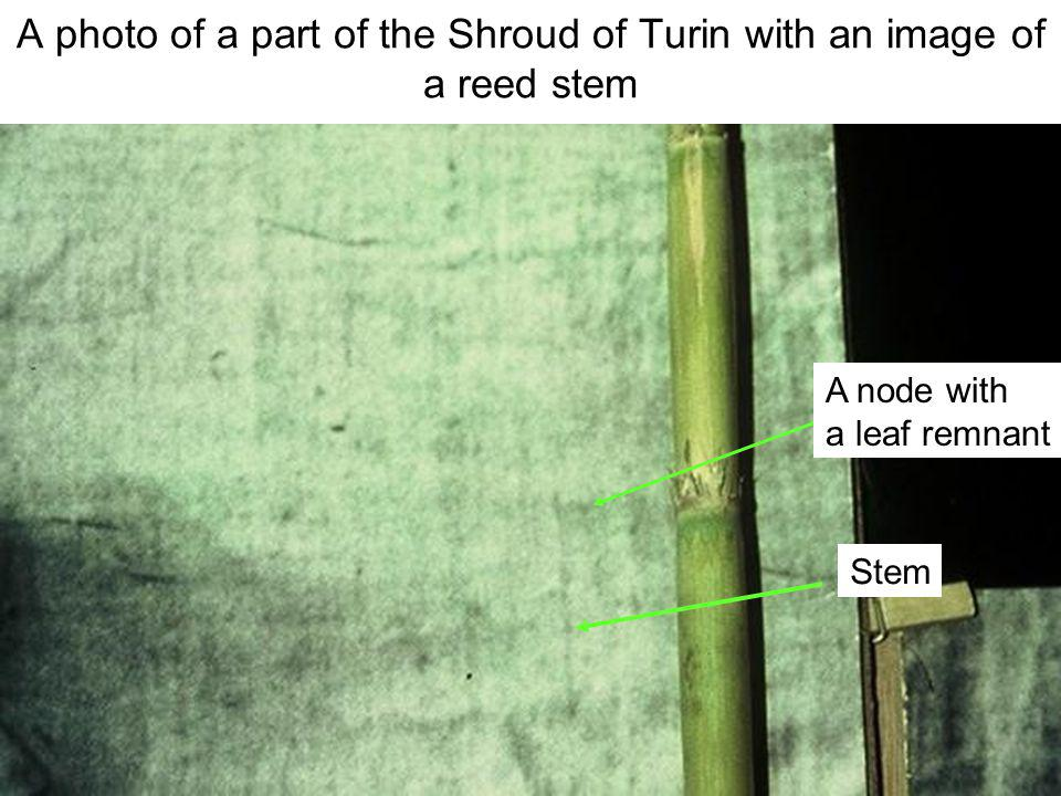 Avinoam Danin © A photo of a part of the Shroud of Turin with an image of a reed stem stem A node with a leaf remnant Stem