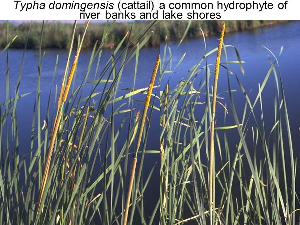 Typha domingensis (cattail) a common hydrophyte of river banks and lake shores