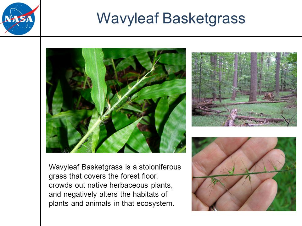 Wavyleaf Basketgrass Wavyleaf Basketgrass is a stoloniferous grass that covers the forest floor, crowds out native herbaceous plants, and negatively alters the habitats of plants and animals in that ecosystem.