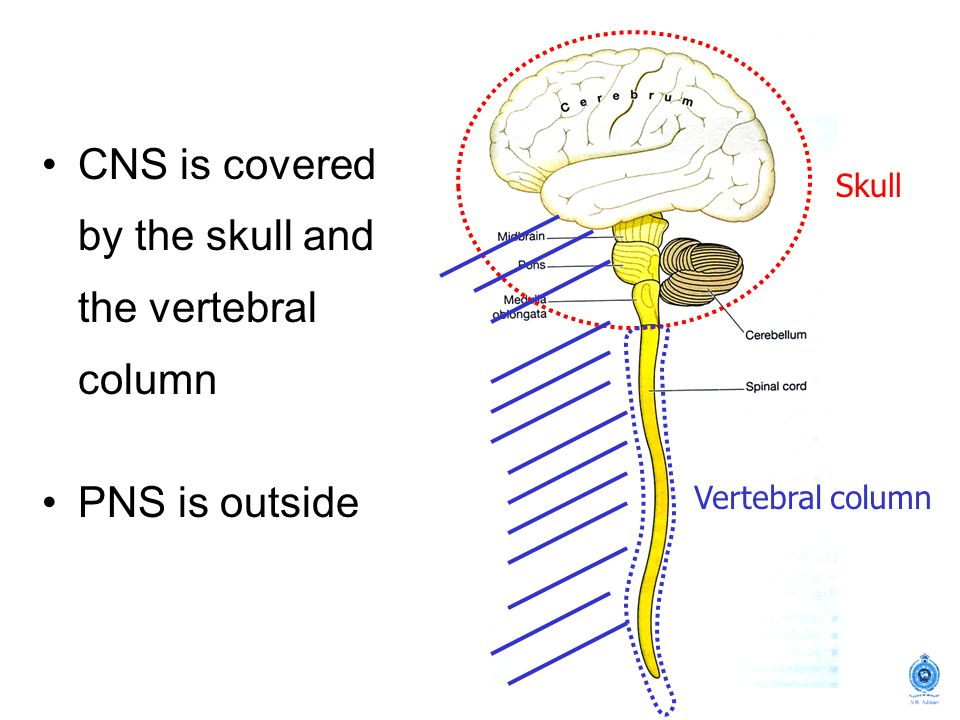 Skull Vertebral column CNS is covered by the skull and the vertebral column PNS is outside