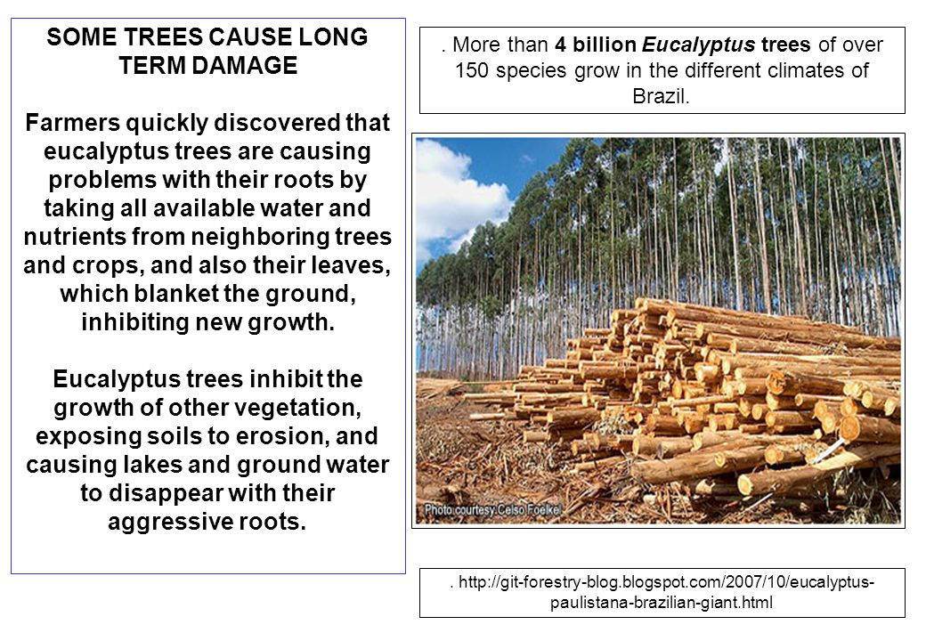 SOME TREES CAUSE LONG TERM DAMAGE Farmers quickly discovered that eucalyptus trees are causing problems with their roots by taking all available water