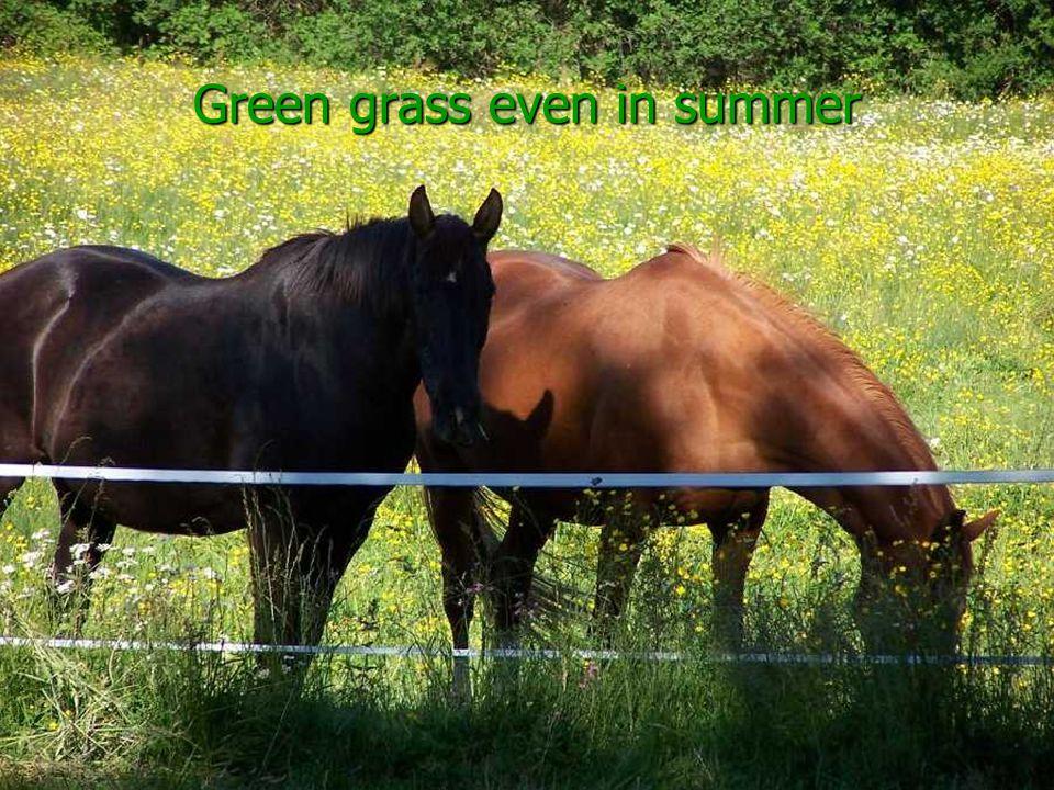 Green grass even in summer