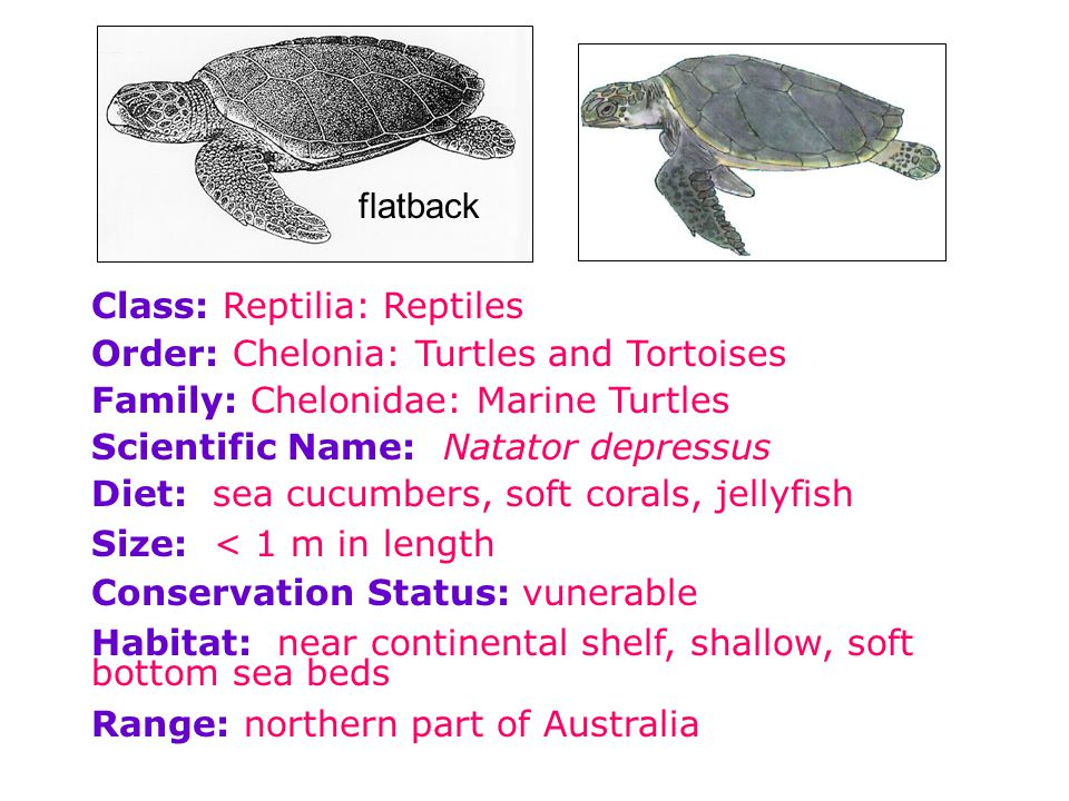 Class: Reptilia: Reptiles Order: Chelonia: Turtles and Tortoises Family: Chelonidae: Marine Turtles Scientific Name: Natator depressus Diet: sea cucum