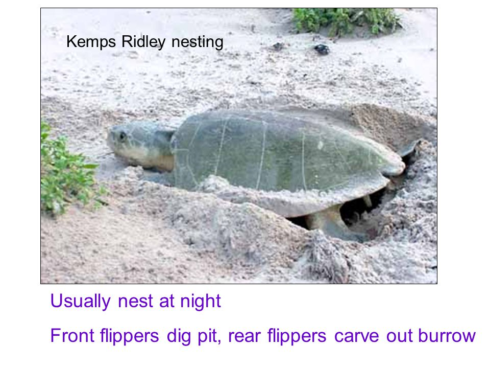 Kemps Ridley nesting Usually nest at night Front flippers dig pit, rear flippers carve out burrow