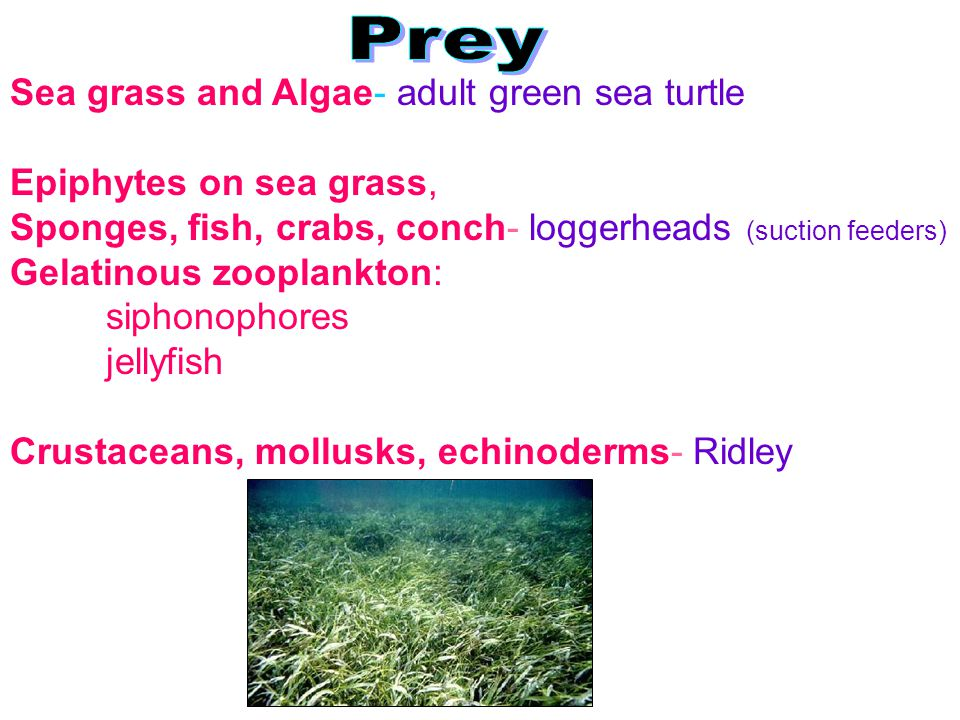 Sea grass and Algae- adult green sea turtle Epiphytes on sea grass, Sponges, fish, crabs, conch- loggerheads (suction feeders) Gelatinous zooplankton: