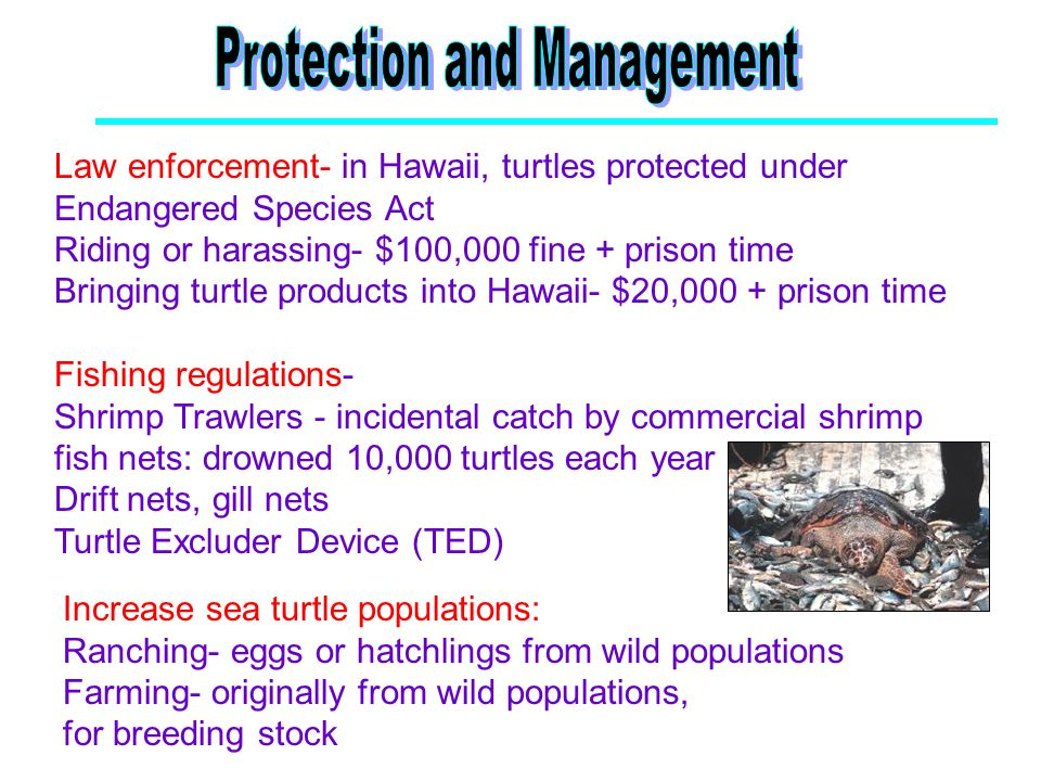 Increase sea turtle populations: Ranching- eggs or hatchlings from wild populations Farming- originally from wild populations, for breeding stock Law