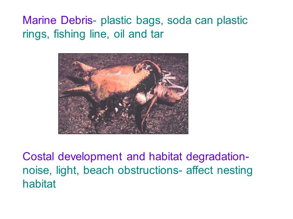 Marine Debris- plastic bags, soda can plastic rings, fishing line, oil and tar Costal development and habitat degradation- noise, light, beach obstruc