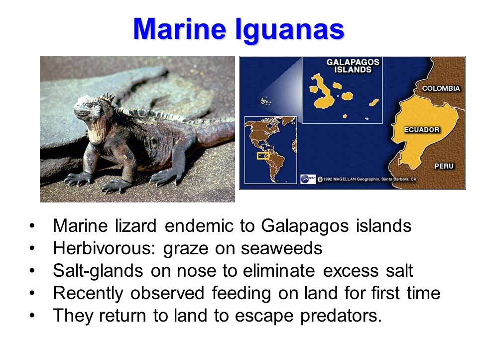Marine Iguanas Marine lizard endemic to Galapagos islands Herbivorous: graze on seaweeds Salt-glands on nose to eliminate excess salt Recently observe