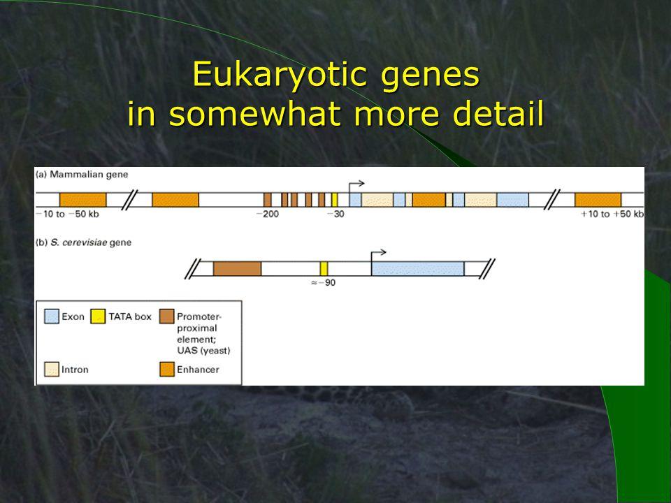 Eukaryotic genes in somewhat more detail