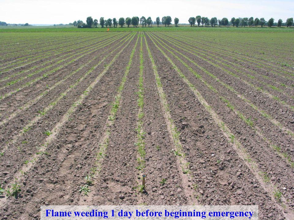Område Jordbruk - odlingssystem, teknik och produktkvalitet www.slu.se David Hansson 2007-11-29 Flame weeding 1 day before beginning emergency