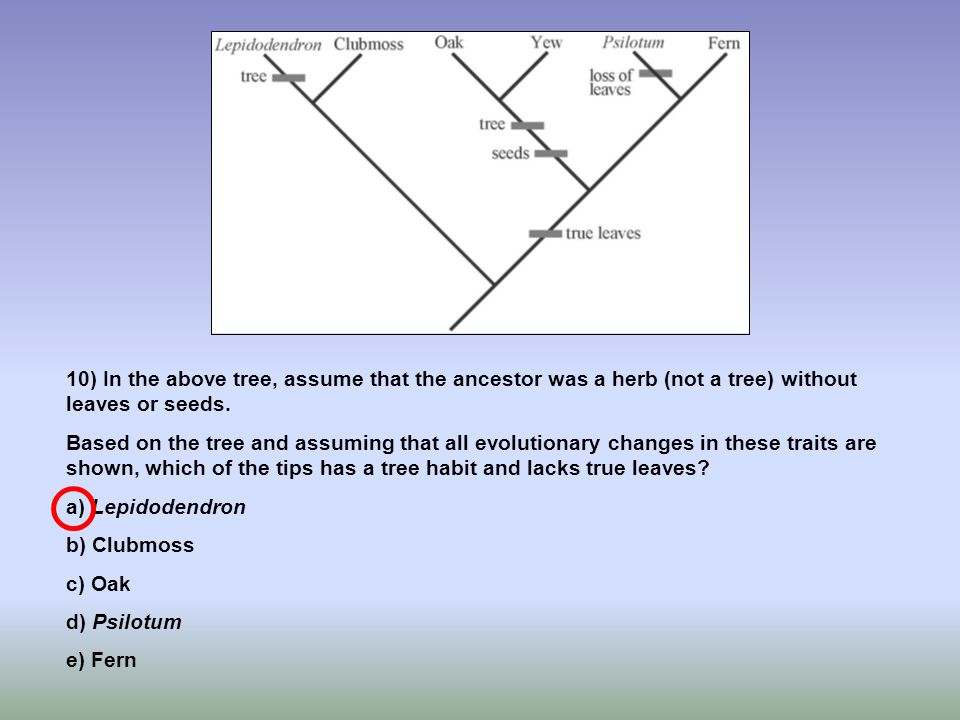 10) In the above tree, assume that the ancestor was a herb (not a tree) without leaves or seeds. Based on the tree and assuming that all evolutionary