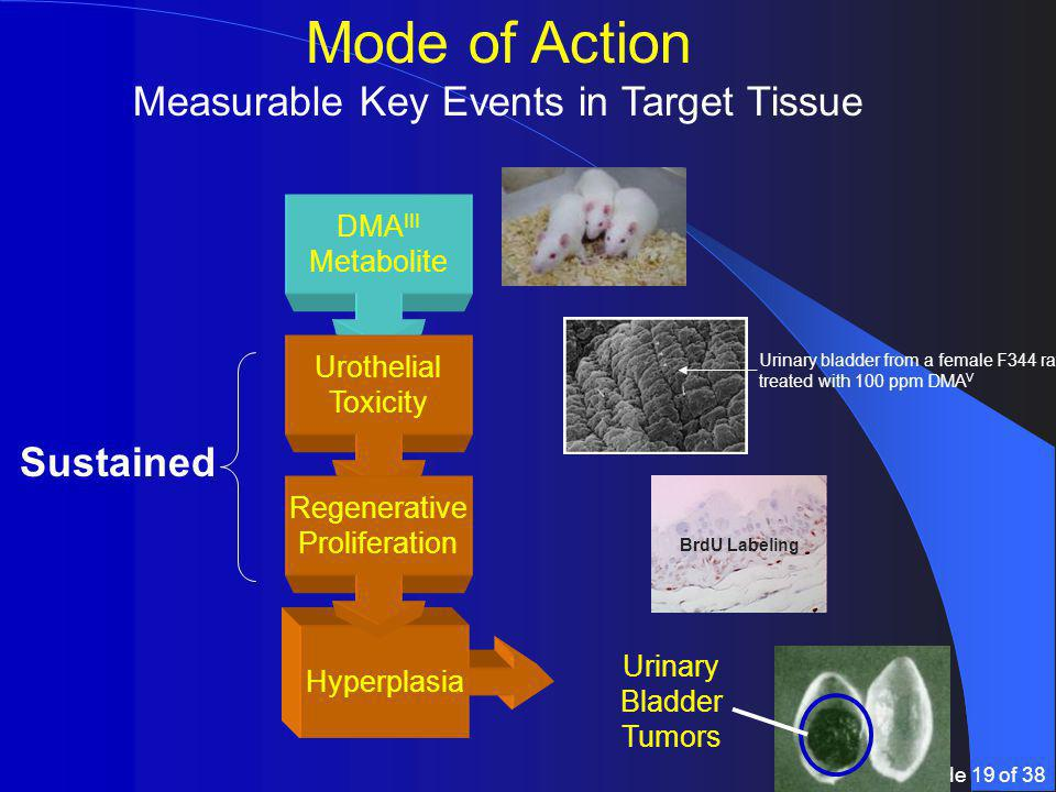 Slide 19 of 38 Mode of Action Measurable Key Events in Target Tissue DMA III Metabolite Hyperplasia Urothelial Toxicity Regenerative Proliferation Urinary Bladder Tumors Sustained Urinary bladder from a female F344 rat treated with 100 ppm DMA V BrdU Labeling