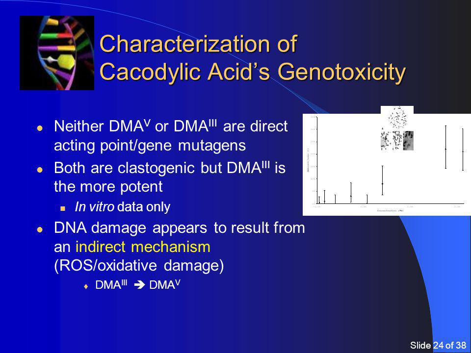 Slide 24 of 38 Characterization of Cacodylic Acid's Genotoxicity Neither DMA V or DMA III are direct acting point/gene mutagens Both are clastogenic but DMA III is the more potent In vitro data only DNA damage appears to result from an indirect mechanism (ROS/oxidative damage)  DMA III  DMA V