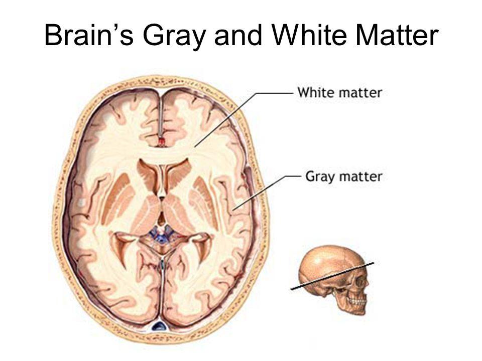 Brain's Gray and White Matter