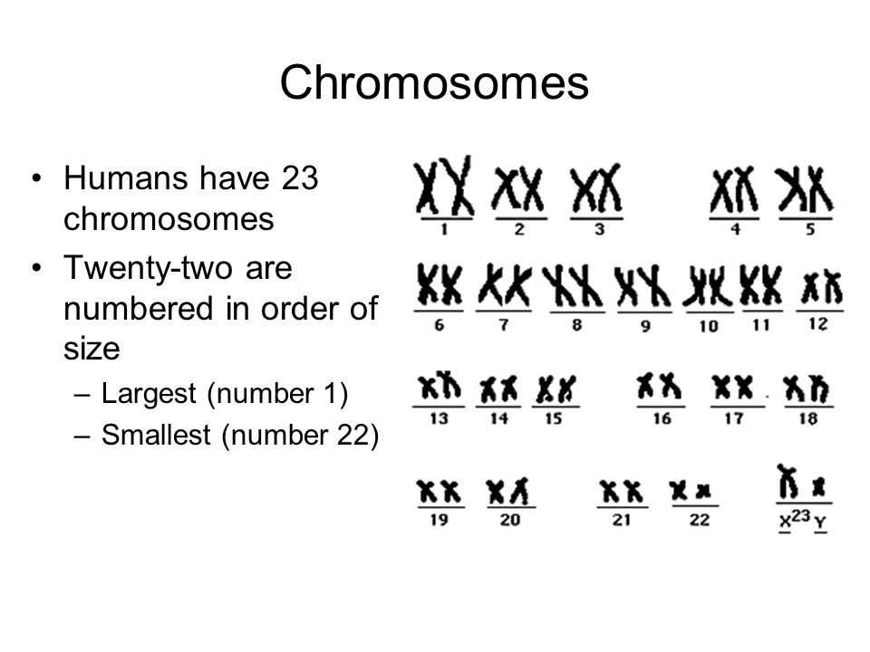 Chromosomes Humans have 23 chromosomes Twenty-two are numbered in order of size –Largest (number 1) –Smallest (number 22)