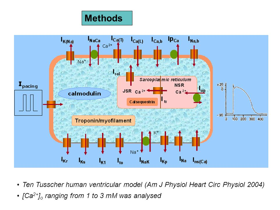 Methods Ten Tusscher human ventricular model (Am J Physiol Heart Circ Physiol 2004) [Ca 2+ ] o ranging from 1 to 3 mM was analysed