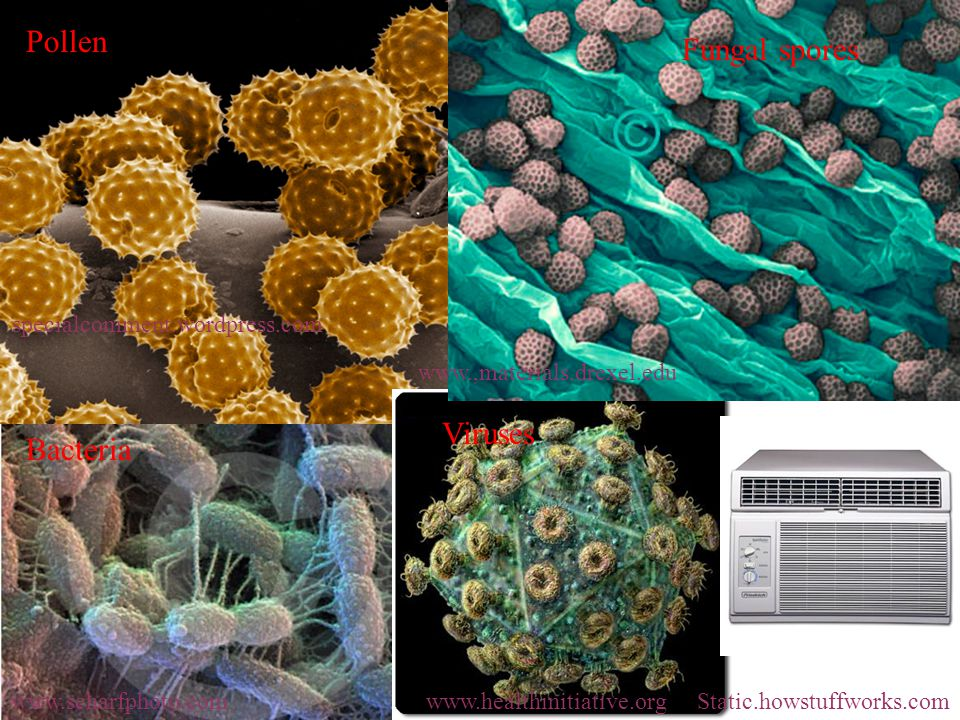 Pollen specialcomment.wordpress.com Fungal spores   Bacteria   Viruses