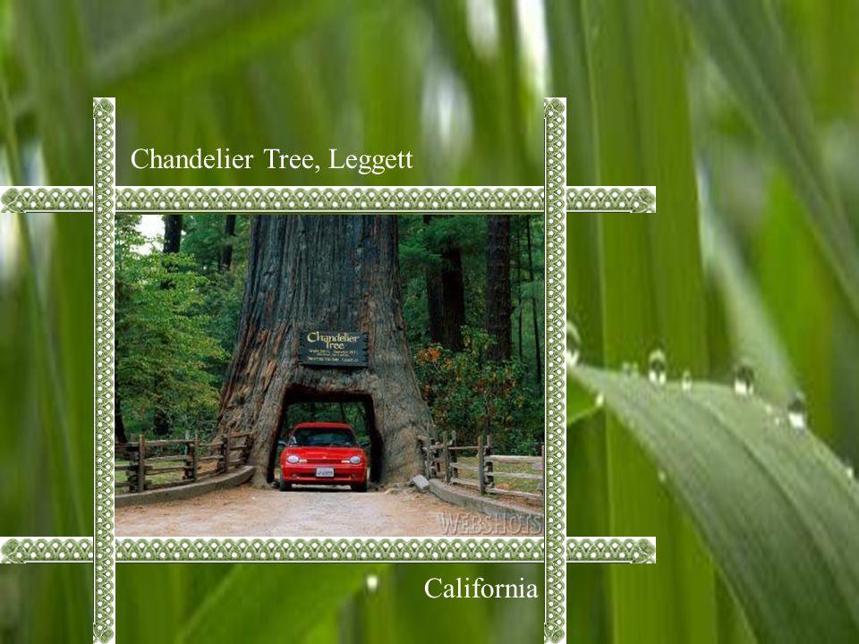 Chandelier Tree, Leggett California