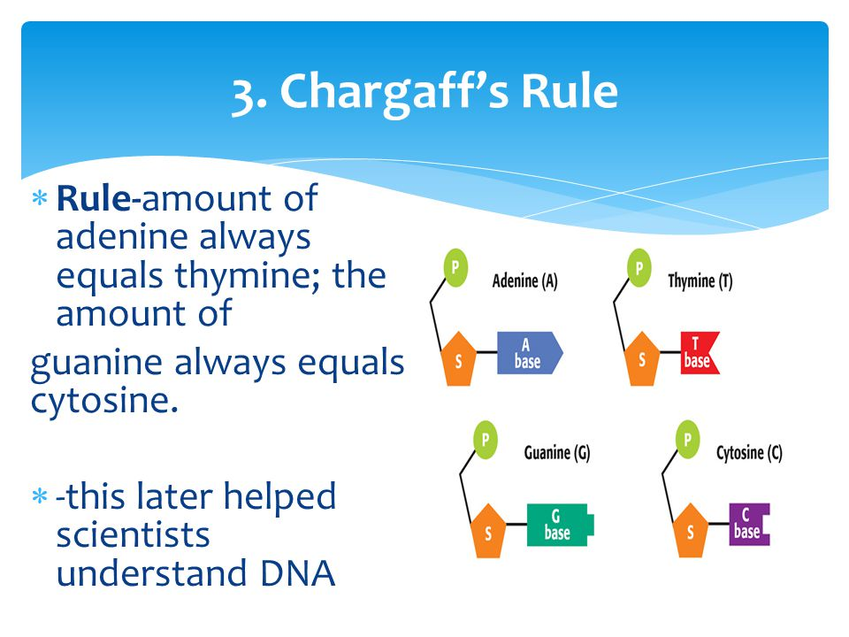 3. Chargaff's Rule  Rule-amount of adenine always equals thymine; the amount of guanine always equals cytosine.  -this later helped scientists under
