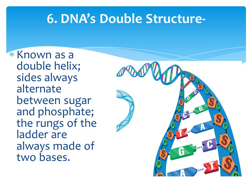 6. DNA's Double Structure-  Known as a double helix; sides always alternate between sugar and phosphate; the rungs of the ladder are always made of t