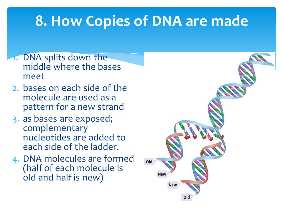 8. How Copies of DNA are made 1.DNA splits down the middle where the bases meet 2.bases on each side of the molecule are used as a pattern for a new s