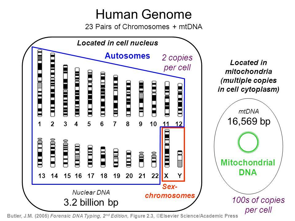 http://www.ncbi.nlm.nih.gov/genome/guide/ 1 2 3 4 5 6 7 8 9 10 11 12 13 14 15 16 17 18 19 20 21 22 X Y Human Genome 23 Pairs of Chromosomes + mtDNA Se