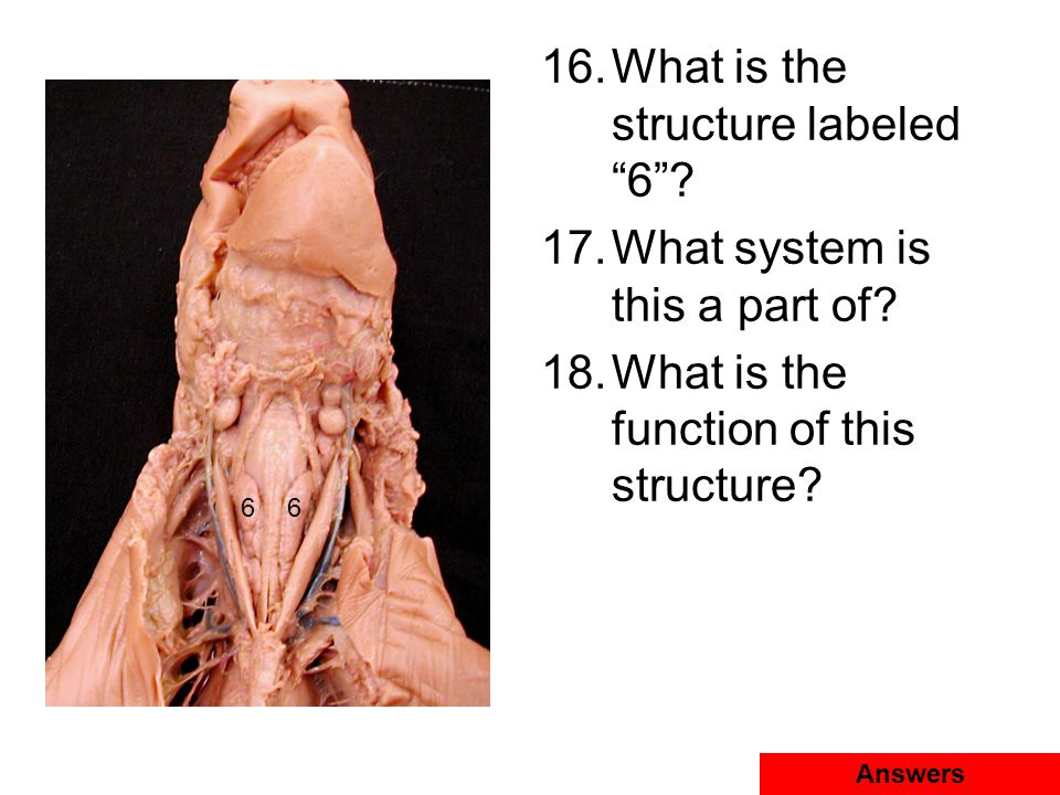 """16.What is the structure labeled """"6""""? 17.What system is this a part of? 18.What is the function of this structure? Answers 66"""