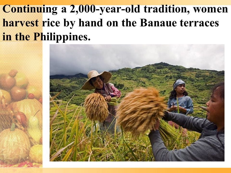 Continuing a 2,000-year-old tradition, women harvest rice by hand on the Banaue terraces in the Philippines.