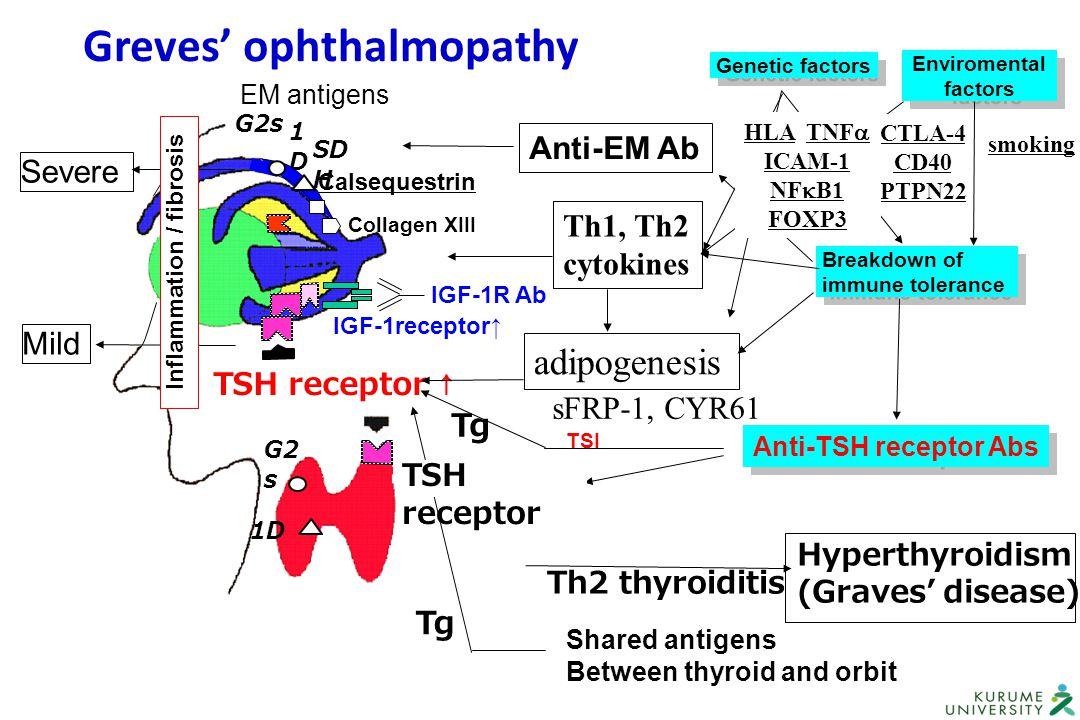 Th2 thyroiditis Shared antigens Between thyroid and orbit Tg Hyperthyroidism (Graves' disease) Breakdown of immune tolerance Breakdown of immune toler